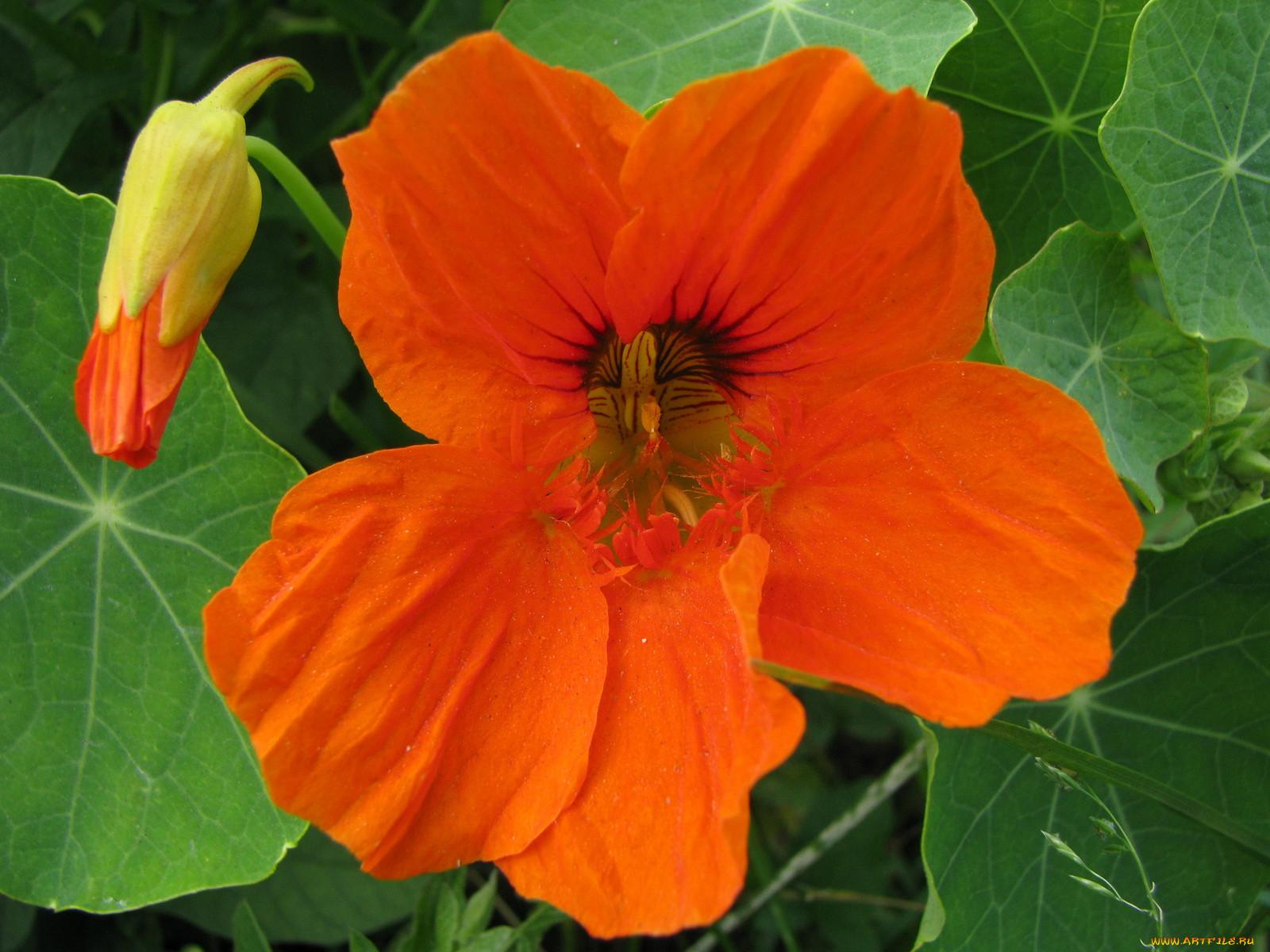 дополняли цветы настурция выращивание фото джейн